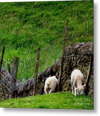 British Lamb Metal Print by Isabella F Abbie Shores