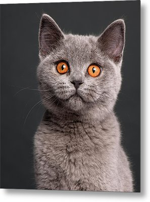 British Shorthair Kitten (3 Months Old) Metal Print by Life On White