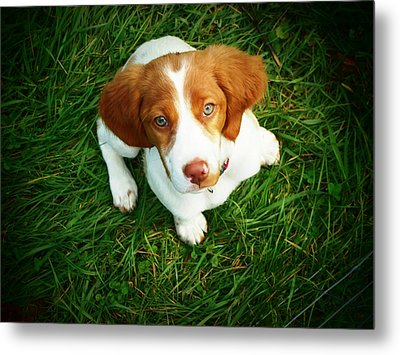 Brittany Spaniel Puppy Metal Print by Meredith Winn Photography