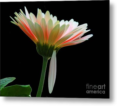 Metal Print featuring the photograph Broken Daisy by Cindy Manero