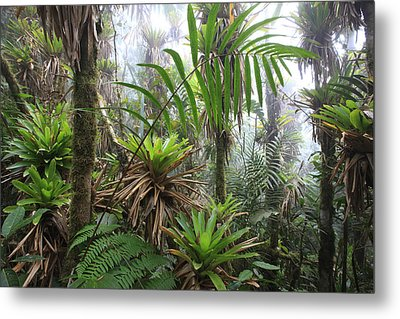 Bromeliads And Tree Ferns  Metal Print by Cyril Ruoso