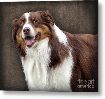 Brown And White Border Collie Dog Metal Print