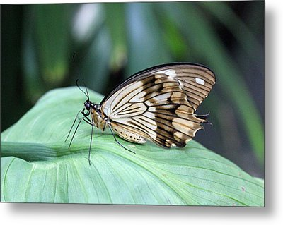 Brown And White Butterfly On Leaf Metal Print by Becky Lodes