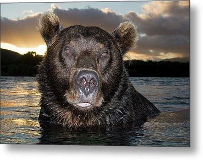 Brown Bear Ursus Arctos In River Metal Print by Sergey Gorshkov