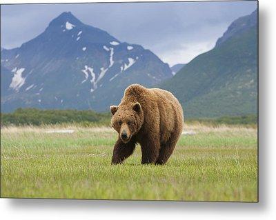 Brown Bears, Katmai National Park, Alaska, Usa Metal Print by Mint Images/ Art Wolfe