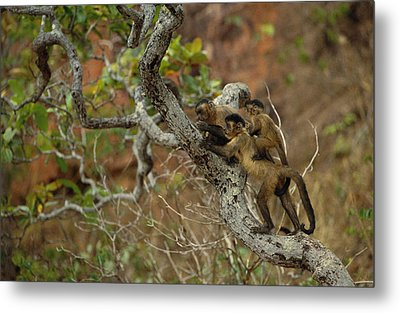 Brown Capuchin Cebus Apella Three Metal Print by Pete Oxford