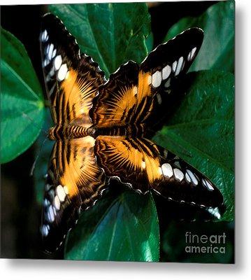 Brown Clipper Butterflies Mating Metal Print by Terry Elniski