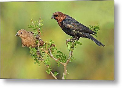 Brown Headed Cowbird Pair Metal Print