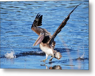 Brown Pelican Landing Metal Print