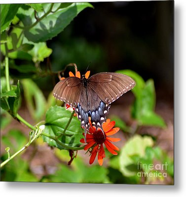 Brown Swallowtail Butterfly Metal Print by Eva Thomas