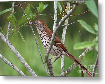 Brown Thrasher Snacking Metal Print by Jennifer Zelik