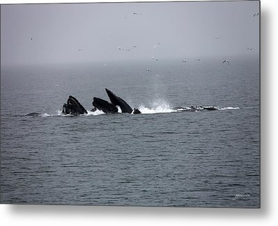 Bubble Netting Whales In Alaska Metal Print by Gary Gunderson