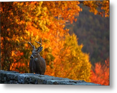 Buck In The Fall 02 Metal Print by Metro DC Photography