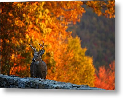 Buck In The Fall 03 Metal Print by Metro DC Photography