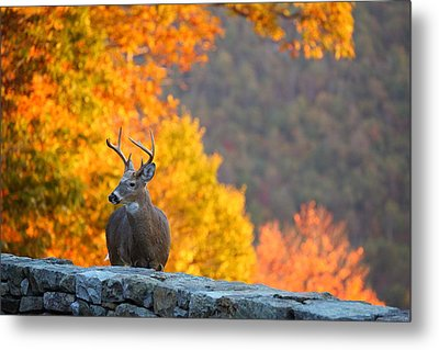 Buck In The Fall 04 Metal Print by Metro DC Photography
