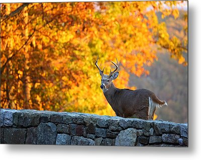 Buck In The Fall 07 Metal Print by Metro DC Photography