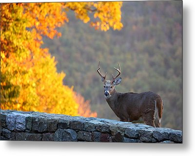 Buck In The Fall 08 Metal Print by Metro DC Photography