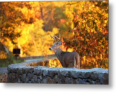 Buck In The Fall 09 Metal Print by Metro DC Photography
