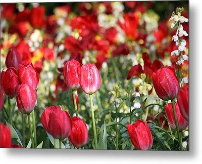 Buckingham Tulips Metal Print by Carrie OBrien Sibley