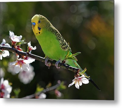 Budgie Perching On Cherry Branch Metal Print by QuimGranell