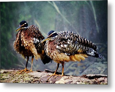 Buff Crested Bustard Metal Print by Paulette Thomas