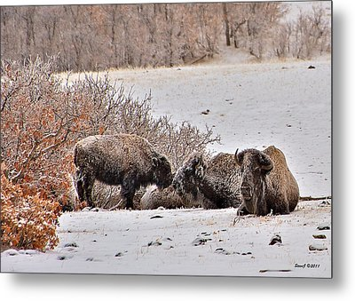 Buffalo Braving The Winter Cold Metal Print