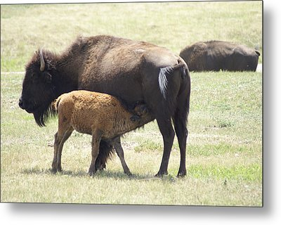Buffalo Family Metal Print by Jerry Cahill