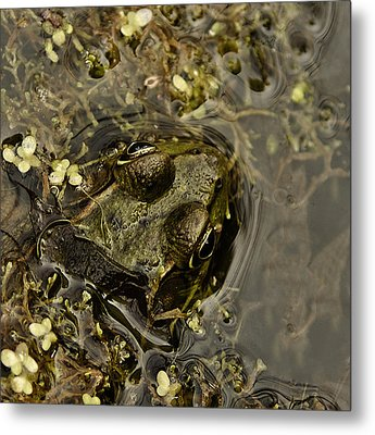Bug Eyed Pond Frog Metal Print