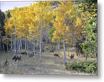 Metal Print featuring the photograph Bull Elk And Harem by Nava Thompson