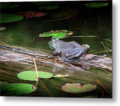 Bull Frog Metal Print by Bruce Ritchie