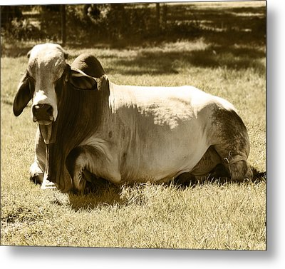 Metal Print featuring the photograph Bull by Steve Sperry