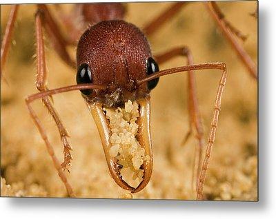 Bulldog Ant Myrmecia Gulosa Worker Metal Print by Mark Moffett