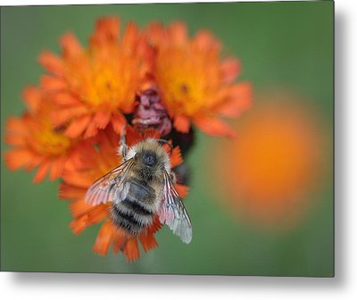 Metal Print featuring the photograph Bumblebee And Orange Hawkweed by Ronda Broatch