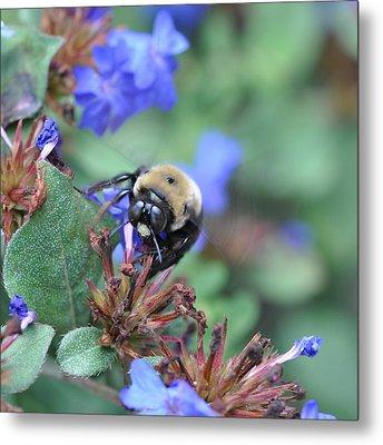 Bumblebee In Plumbago Larpentae Metal Print
