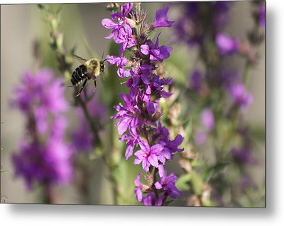 Bumblebee On The Fly Metal Print by Michel DesRoches