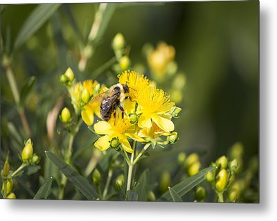 Bumblebee On Yellow Metal Print by Michel DesRoches