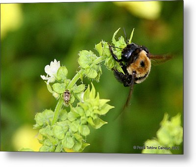Bumbling On The Basil Metal Print by Paula Tohline Calhoun