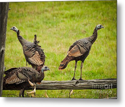 Metal Print featuring the photograph Bunch Of Turkeys by Cheryl Baxter