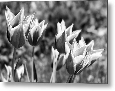 Burgundy Yellow Tulips In Black And White Metal Print by James BO  Insogna