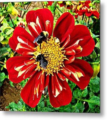 Busy Bees Metal Print by Nick Kloepping