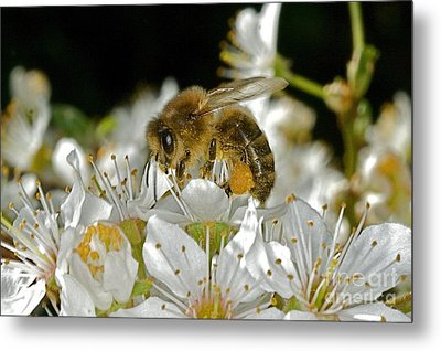 Busy Busy Bee Metal Print by Gary Bridger