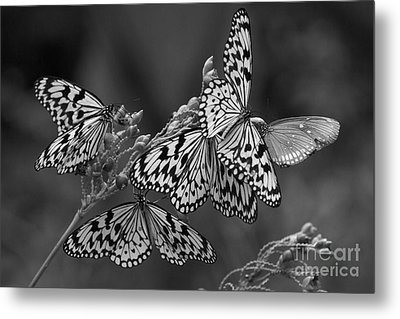 Butter Flies  Metal Print by Gary Bridger