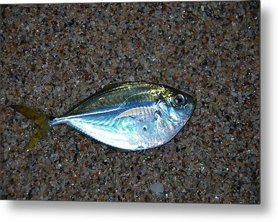 Butterfish On Beach Sand Metal Print by Ken  Collette