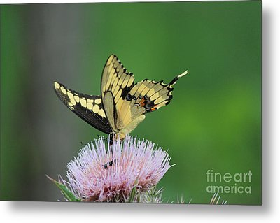 Metal Print featuring the photograph Butterflies Are Free by Kathy  White