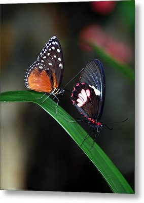 Butterflies Metal Print by Skip Willits