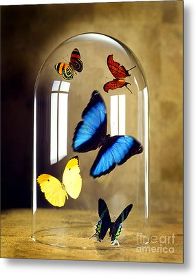 Butterflies Under Glass Dome Metal Print by Tony Cordoza