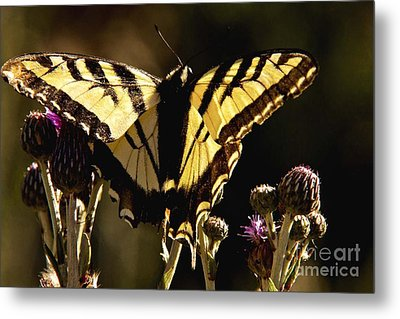 Metal Print featuring the photograph Butterfly And Thistle II by Angelique Olin