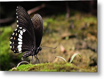Metal Print featuring the photograph Butterfly Feeding  by Ramabhadran Thirupattur
