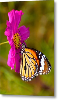 Butterfly II Metal Print by Fotosas Photography
