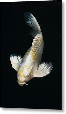 Butterfly Koi Metal Print by Don Mann